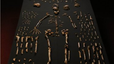 Bones from the newly discovered species of ancient human.