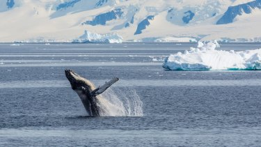 Adult humpback whale breaching in the Gerlache Strait, Antarctica: More room to move than in any previous year on record.
