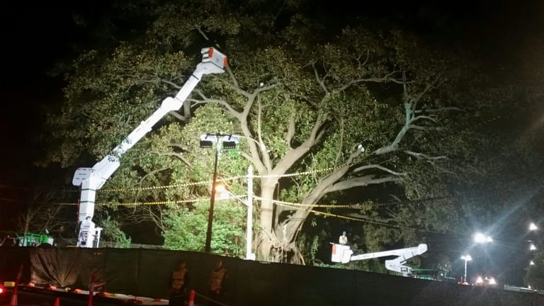 "Arborists start cutting down a beloved Moreton Bay fig tree in Randwick, known locally as the ""Tree of Knowledge""."