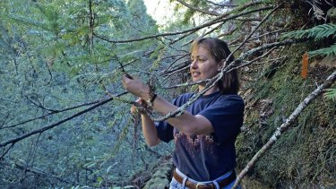 Dr Cathy Offord in 1994 at the site of the then-recently discovered Wollemi pine in the Blue Mountains.