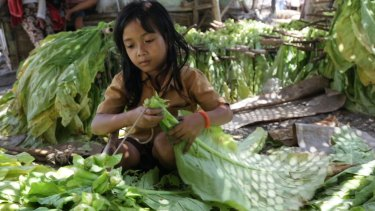 In a bind: A young girl ties tobacco leaves onto sticks to prepare them for curing in East Lombok, West Nusa Tenggara.
