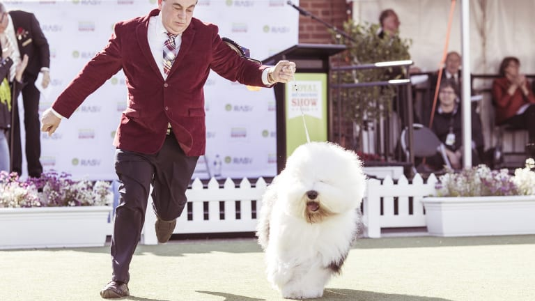 """Roger's a wonderful pet to have. He loves his toys; he throws them up in the air. He gets on the good furniture and just sits and plays with his toys. But he's also a guard dog. If someone comes to the door, he'll be there."" Chris Moore,  of Melbourne, with his champion old English sheepdog."