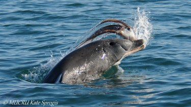 A dolphin throws an octopus from its head into the sea.