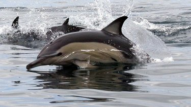 What are dolphins good for but interfering with tuna fishing?