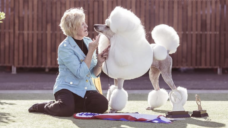"""When we're at home, to protect her coat, she has all of that long hair wrapped up in pretty pink latex bands and little plastic bags, almost like she's in hair rollers."" Lorraine Boyd, of Sydney, with her standard poodle (and Best in Show) Carla, aka Picardy PS I Love You."