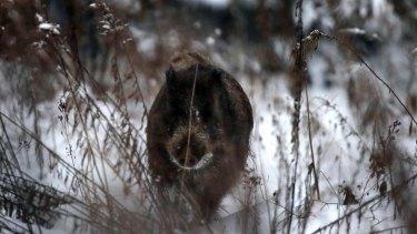 A wild boar runs in a snow covered field in Belarus.