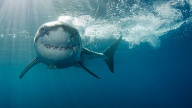 An Australian senate inquiry into shark mitigation has recommended drum lines and shark nets be phased out.