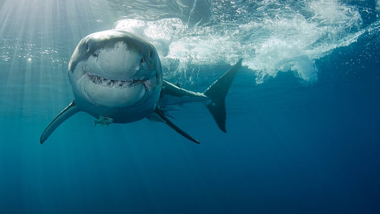 The famous – and feared – great white shark.