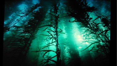 The biologically rich giant kelp forests off eastern Tasmania are under threat from warm-water predators.