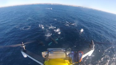 A drone's eye view of breaching humpback whales off Sydney.