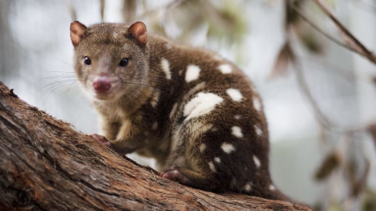 The endangered tiger quoll, ''star'' of Hannie Rayson's play, Extinction.