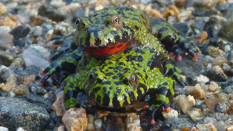 Fire-bellied toads are resistant to chytridiomycosis.