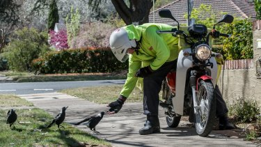 Canberra Australia Postman S Secret To Stop Magpies From