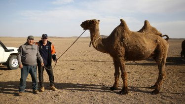 5ba64b318d7 Shear determination helps Mongolians to ride on the camel s back