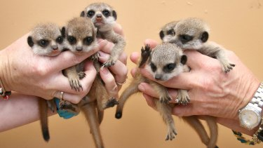 Quite a handful: Taronga Zoo is six meerkats better off after the litter was born.