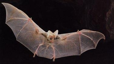 """Beautiful """"ghost-like"""" appearance: a ghost bat in flight.."""