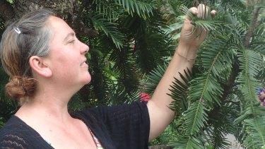 Dr Hannah McPherson, of the National Herbarium, Royal Botanic Garden, Sydney, inspecting a Wollemi pine.