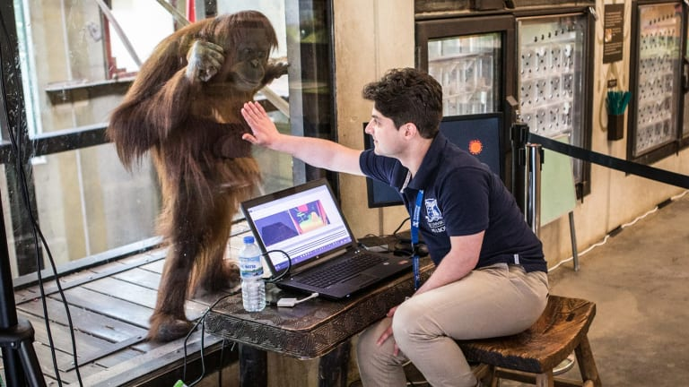 Researchers are developing software to keep Melbourne Zoo's orang-utans mentally engaged and challenged.