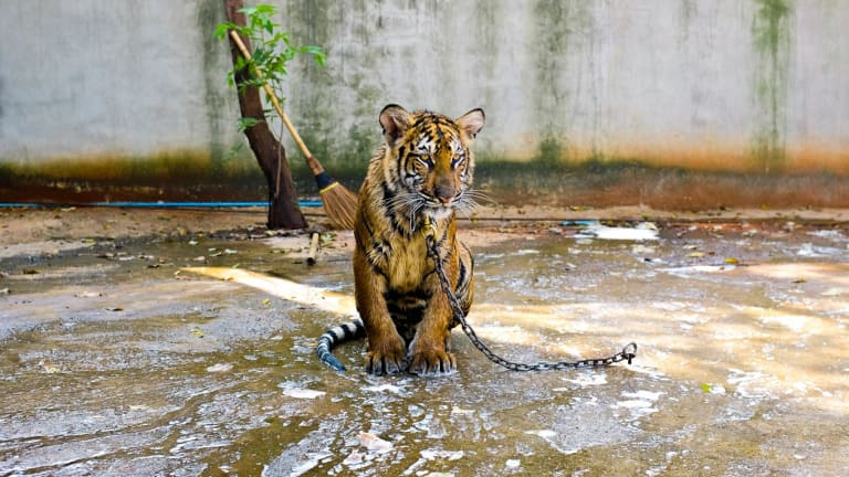 "Attractions that feature ""tamed"" wildlife are cruel, a report says."