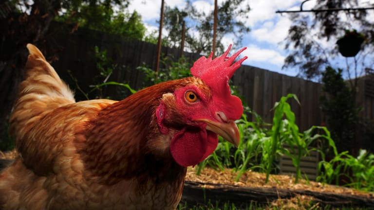 Chicken and egg: Keeping chooks almost always makes financial sense.