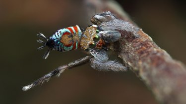 Maratus ottoi, one of the six recently discovered species of peacock spider.