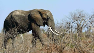 An elephant in a drought stricken area in the Kruger National Park, South Africa.