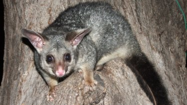 An Australian brush-tailed possum. New Zealanders consider them to be vermin.