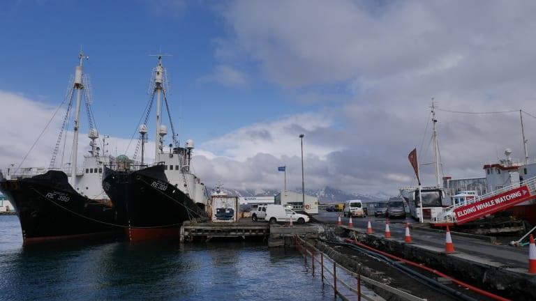 Elding Whale Watching runs cruises in the same bay where fishermen hunt whales.