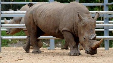 File photo: Kei the white rhinoceros arrrived at Mogo Zoo in 2015.