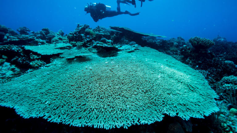 Plate coral on the Great Barrier Reef.