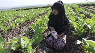 Toxic: A 12-year-old applies fertiliser by hand to tobacco plants near Sampang, East Java.