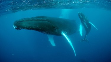 Whispering giants: A humpback mother and calf.