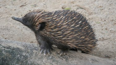 The same hormone produced in the gut of the echidna to regulate blood glucose is also found in their venom.