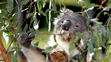 Future generations may never see a koala in the wild.