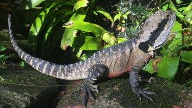 Kinkytail, an eastern water dragon, resident in the Northern Illawarra.
