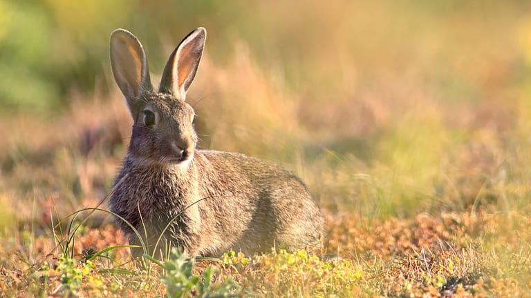 A European rabbit. Scientists have often recounted a story about the domestication of rabbits involving a pope and Lent.
