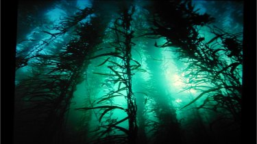 Regions such as these 12-metre strands of giant kelp off Tasmania are under threat as waters warm.