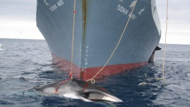 Japan has announced it will resume whaling in the Antarctic this summer.