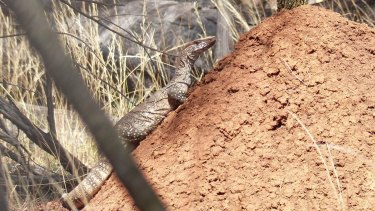 Roxy the goanna shifted her egg chamber on Mount Ainslie after being disturbed by dogs or people.