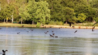 Flying foxes having a much-needed drink in Lake Burley Griffin.