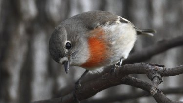 A female scarlet robin. The species is at risk of extinction in the next 50 years.