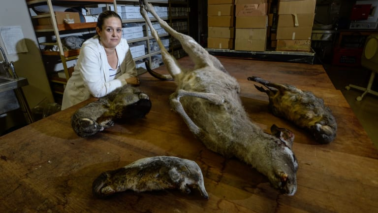 Modern day tucker: Archaeologist Jillian Garvey with road kill, which she is studying to analyse the nutritional properties of a diet based on native Australian animals.