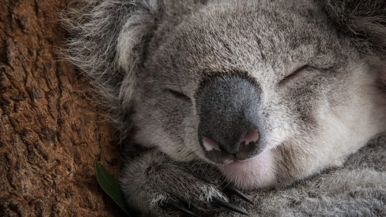 Koalas are listed as a vulnerable species.