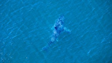 The shark, sighted off the beach where a teenager was attacked on Monday.