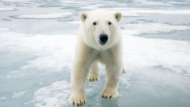 Melting moments: A polar bear off the coast of Svalbard, Norway.