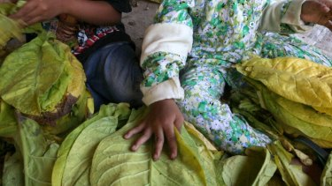 Immersed: Children bundle tobacco leaves to prepare them for curing in Sampang, East Java.