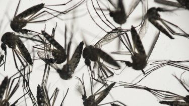 Aedes aegypti mosquitoes, which can carry the Zika virus.
