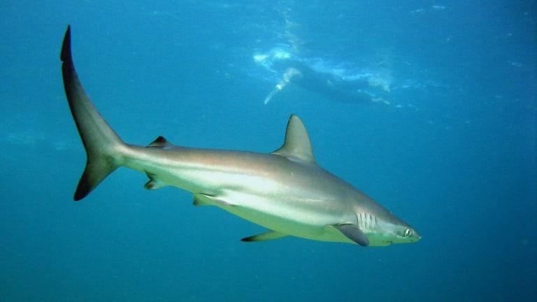 Dusker shark in Sydney Harbour with swimmer.