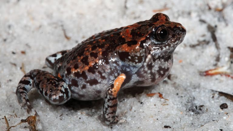 An image of a frog named <i>Uperoleia mahonyi</i>, named after the photographer's father, Newcastle University researcher, Michael Mahony.