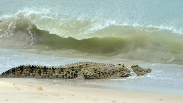 The crocodile that swam 400km around the tip of Cape York was an Estaurine Crocodile (Crocodylus porosus), similar to the one pictured.